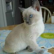 cute and lovely kitten for sale