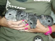 Very tame Chinchilla Babies