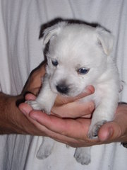 For Sale Westie pups
