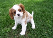 our Cavalier King Charles Spaniel for good home