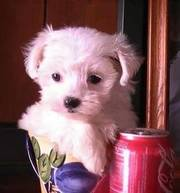**T cup Maltese Puppies