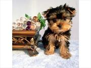 cute adorable babies yorkie   ready to go
