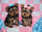 2 Adorable x- mass Yorkie  Puppies For Free Adoption
